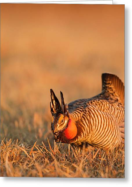 Male Prairie Chickens At Lek In Loup Greeting Card by Chuck Haney