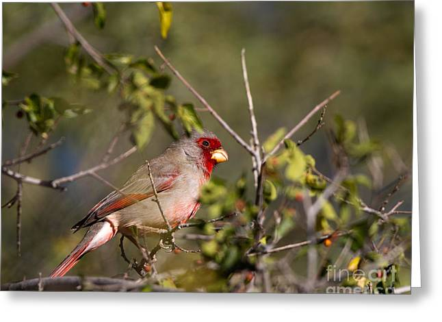 Pyrrhuloxia In Autumn Greeting Card