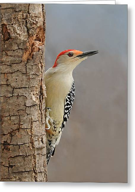 Male Redbellied Woodpecker 1 Greeting Card