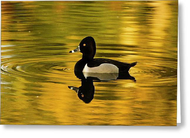 Male Ring-necked Duck, Swimming, Dawson Greeting Card