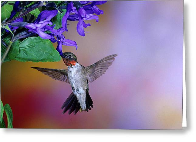 Male Ruby-throated Hummingbird Greeting Card