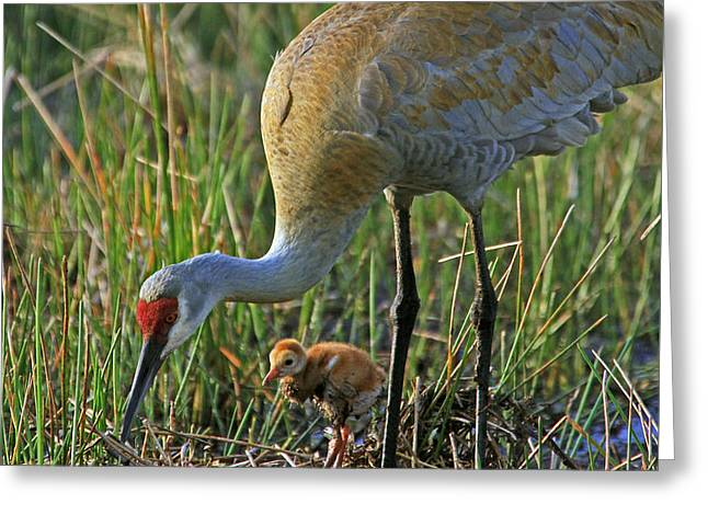 Greeting Card featuring the photograph Male Sandhill With 4 Day Old Chick by Larry Nieland