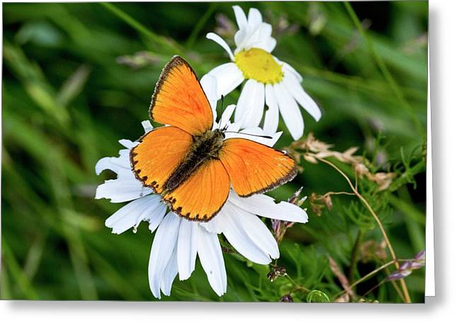 Male Scarce Copper Butterfly Greeting Card by Bob Gibbons