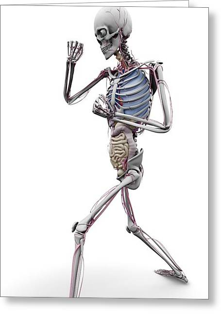 Male Skeleton And Organs, Artwork Greeting Card by Science Photo Library
