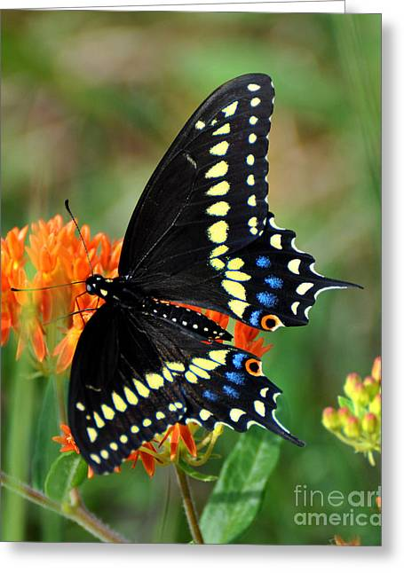 Male Swallow Tail Greeting Card by Stuart Mcdaniel