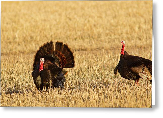 Male Tom Turkeys In Breeding Plumage Greeting Card by Chuck Haney