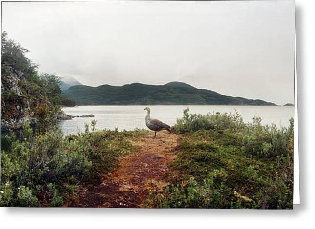 Male Upland Goose Or Magellan Goose Greeting Card
