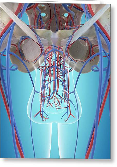 Male Vascular System Greeting Card by Sciepro
