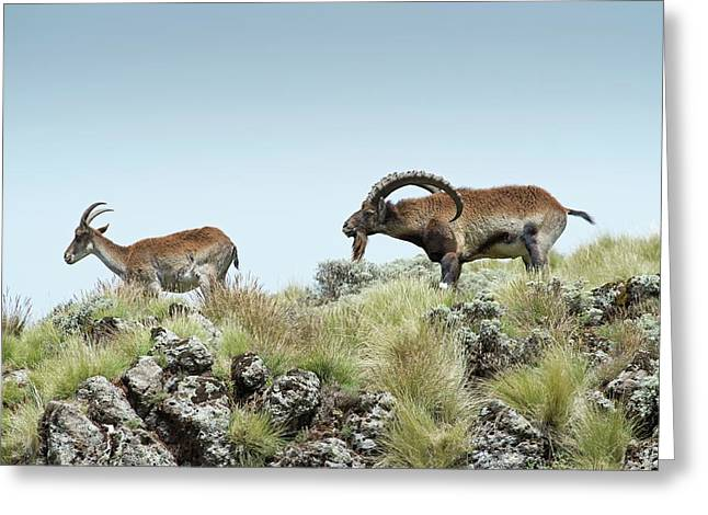 Male Wahlia Ibex Checking A Females Odour Greeting Card