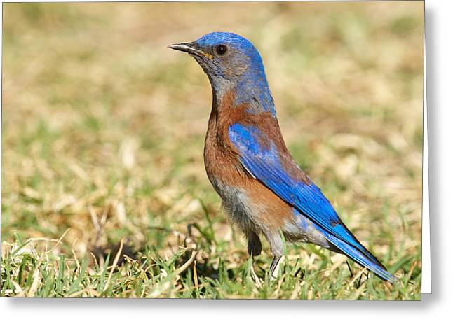 Male Western Bluebird Greeting Card