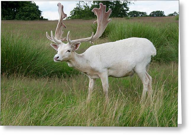 Male White Fallow Deer Greeting Card by Nigel Downer