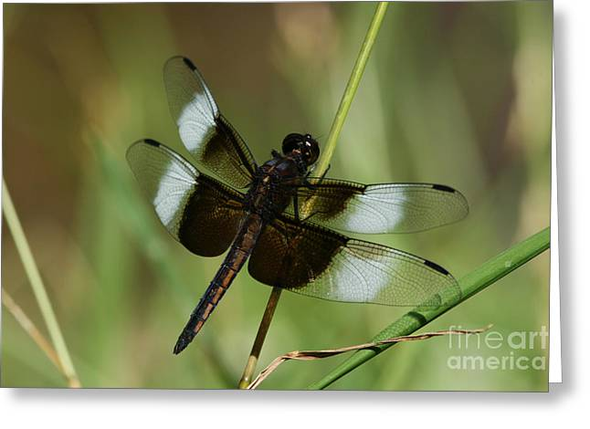Male Widow Skimmer Dragonfly Greeting Card