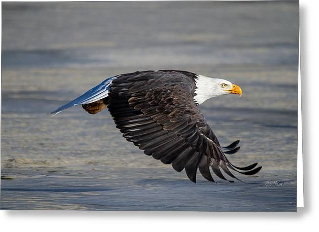 Male Wild Bald Eagle Ready To Land Greeting Card