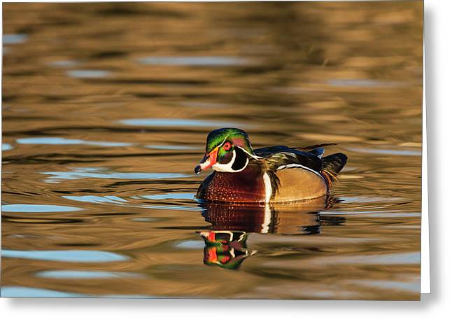 Male Wood Duck Reflected In The Golden Greeting Card by Michael Qualls
