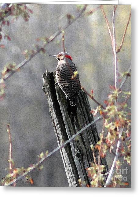 Male Yellow-shafted Northern Flicker Greeting Card by J McCombie