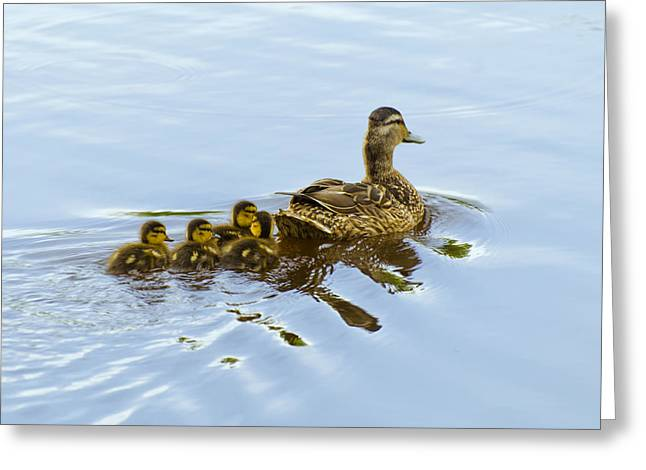 Mallard And Chicks  Greeting Card