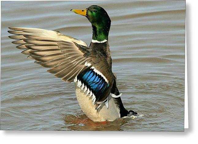 Mallard Drake Wings Greeting Card