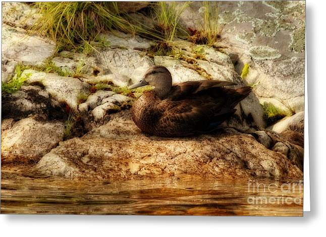 Greeting Card featuring the photograph Mallard Duck Onaping by Marjorie Imbeau