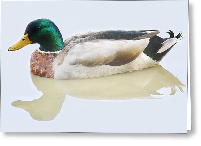 Mallard Duck Greeting Card by Paulette Thomas
