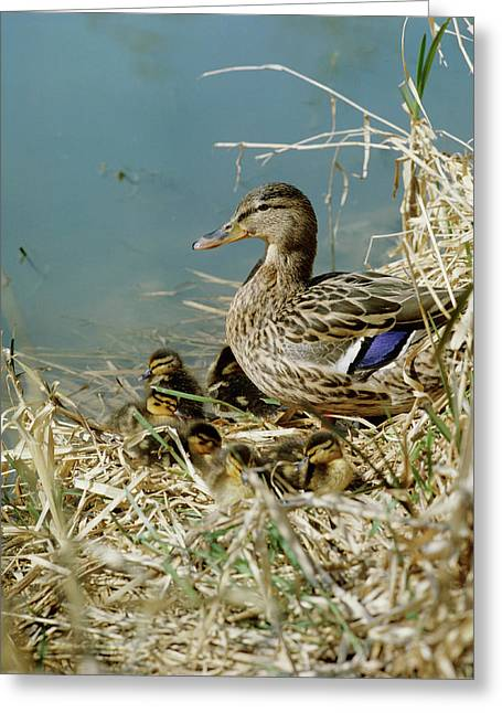 Mallard Duck With Young Greeting Card