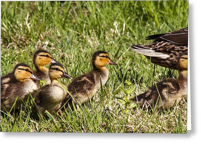 Mallard Ducklings Greeting Card