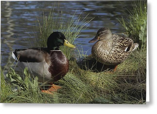 Mallard Duck Pair Greeting Card by Don Kreuter