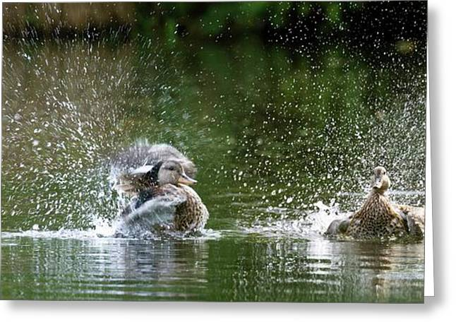 Mallard Ducks Greeting Card by Steve Allen/science Photo Library