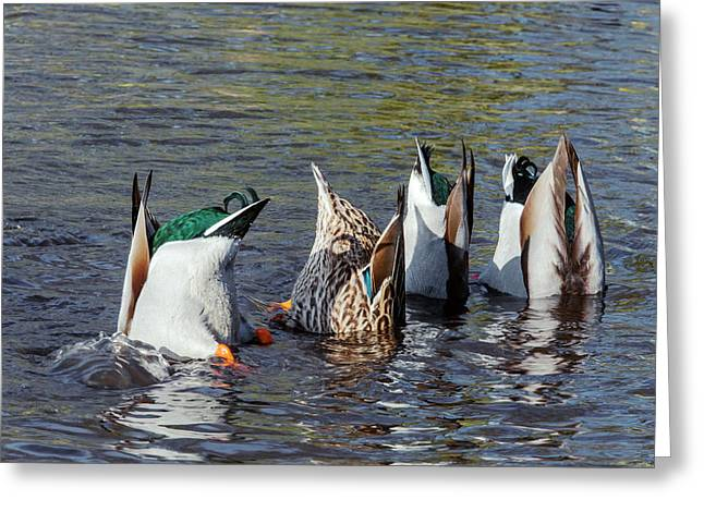 Mallard Ducks Upending And Feeding Greeting Card by Simon Booth