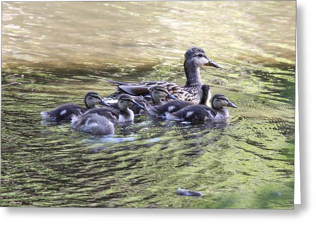 Mallard Family On Green Water Greeting Card