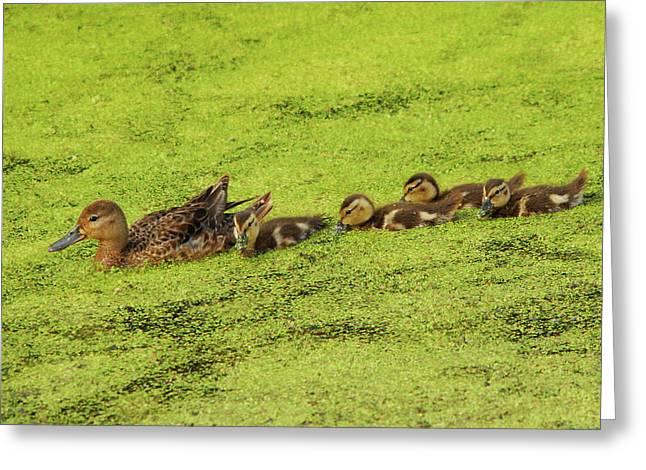 Mallard Female And Ducklings In Algae Greeting Card by Michel Hersen