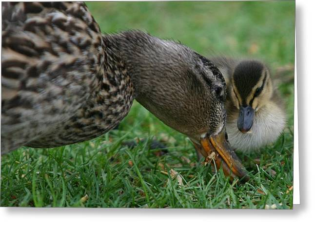 Mallard Hen And Duckling Greeting Card