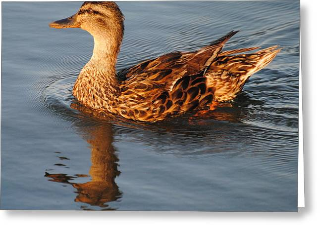 Mallard Hen Swimming Greeting Card