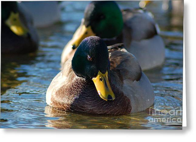 Mallard In The Morning Sun Greeting Card