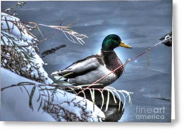 Mallard In Winter Greeting Card