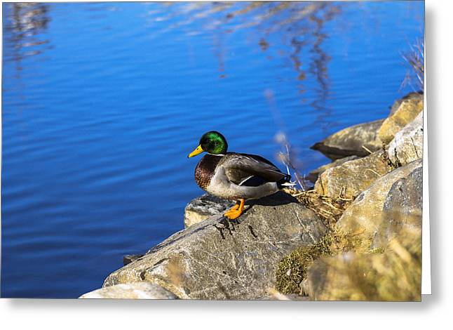 Mallard Looking Over His Domain Greeting Card