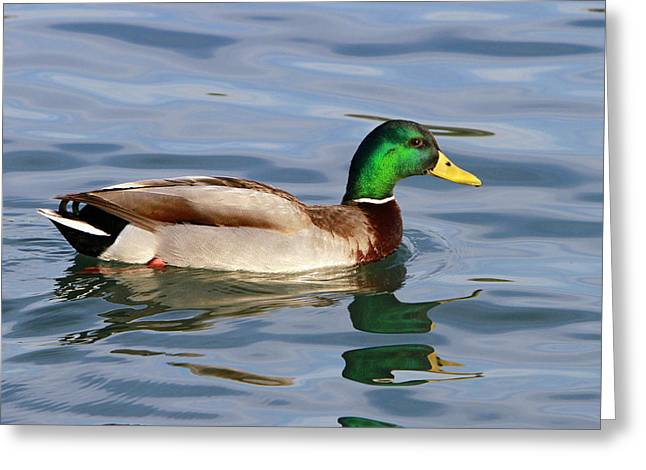 Mallard On The Lake Greeting Card by Shoal Hollingsworth