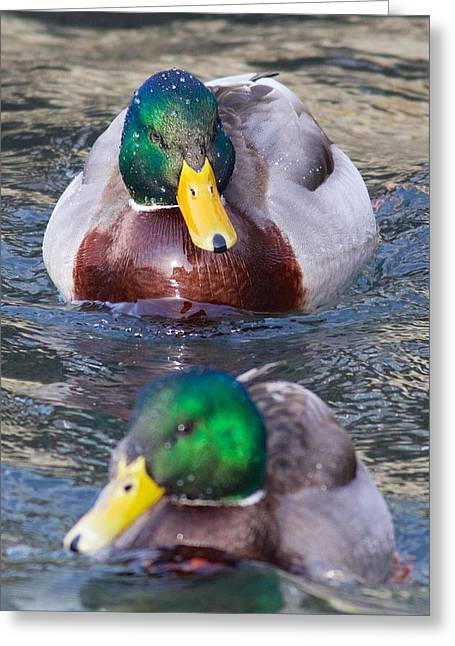 Mallard Train Greeting Card