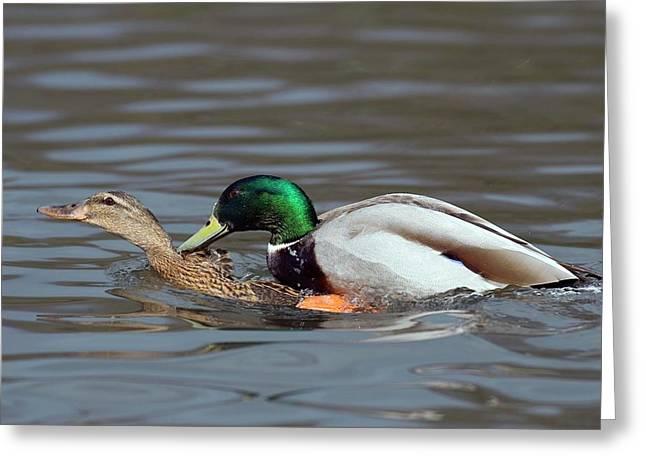 Mallards Mating Greeting Card by Bildagentur-online/mcphoto-rolfes