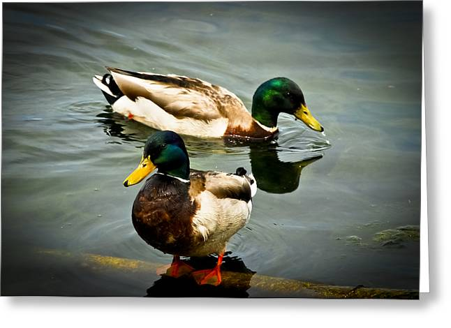 Green Feathers On Back Greeting Cards - Mallards on Mendota Greeting Card by Christi Kraft
