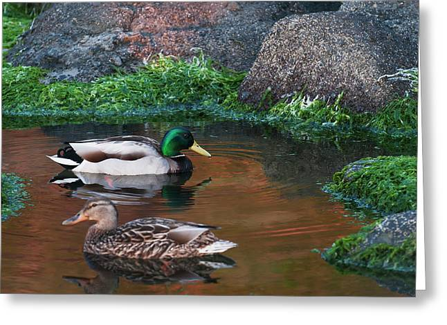 Mallards Swim In A Tide Pool At Ecola Greeting Card