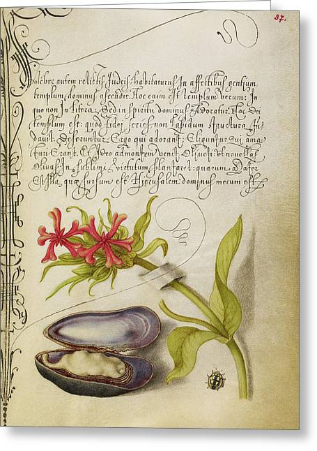 Maltese Cross, Mussel, And Ladybird Joris Hoefnagel Greeting Card by Litz Collection