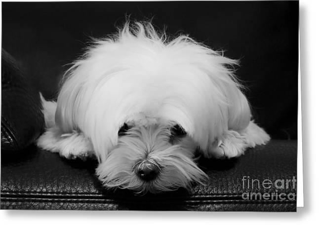 Maltese Dog Greeting Card
