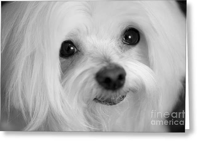 Maltese Eyes Greeting Card by Leslie Leda