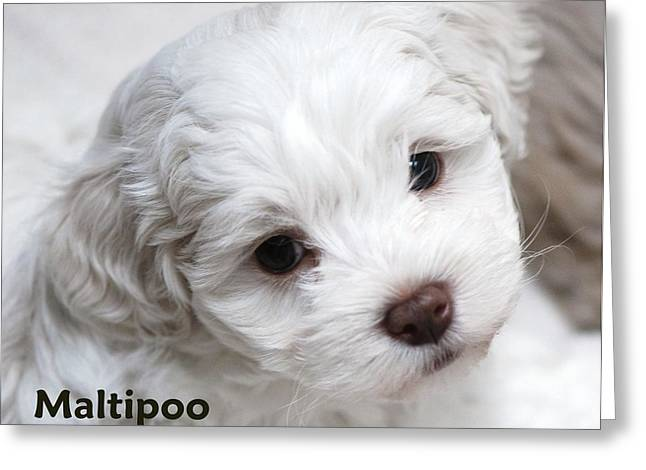 Maltipoo Puppy Greeting Card by Lisa  DiFruscio