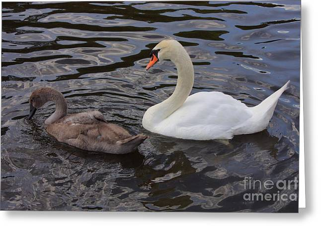 Mama And Baby Swan Greeting Card by Carol Groenen