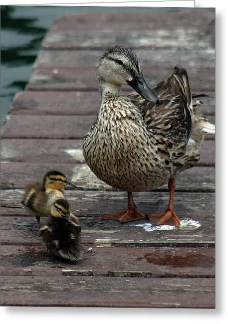 Mama Duck And Ducklings Greeting Card