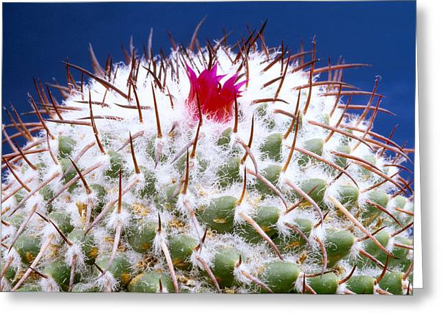 Mamm Polythele Cactus Greeting Card by Carl Perkins