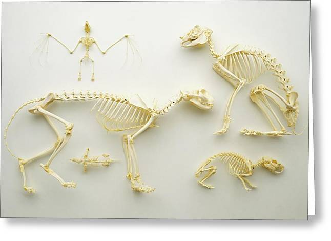 Mammal Skeletons Greeting Card