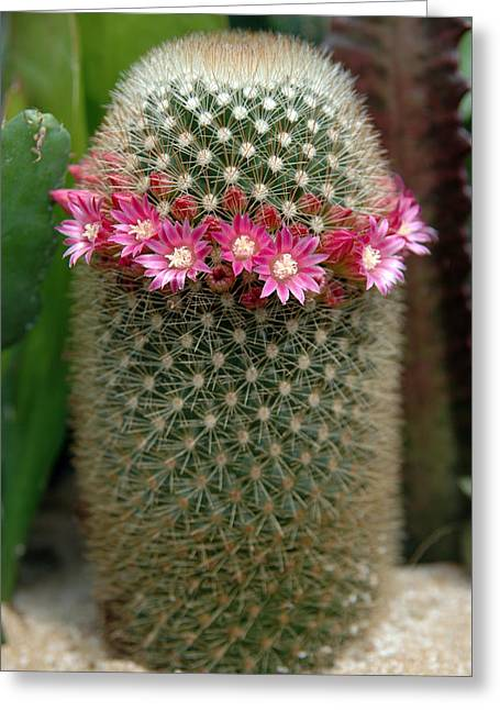 Mammillaria Pincushion Cactus In Bloom Greeting Card by Rob Huntley