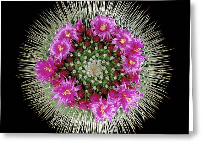 Mammillaria Spinosissima In Flower Greeting Card by Gilles Mermet